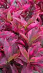 Alternanthera  'Brazilian Red'