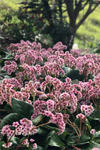 Bergenia  'Pink Snow Cloud'