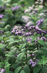 Heliotrope arborescens 'Cherry Pie'