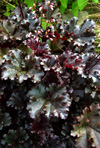 Heuchera  'Dark Secret'