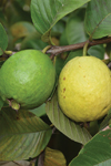 Psidium guajava 'Tropical Sensation'