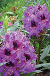 Rhododendron  'Bluebell'